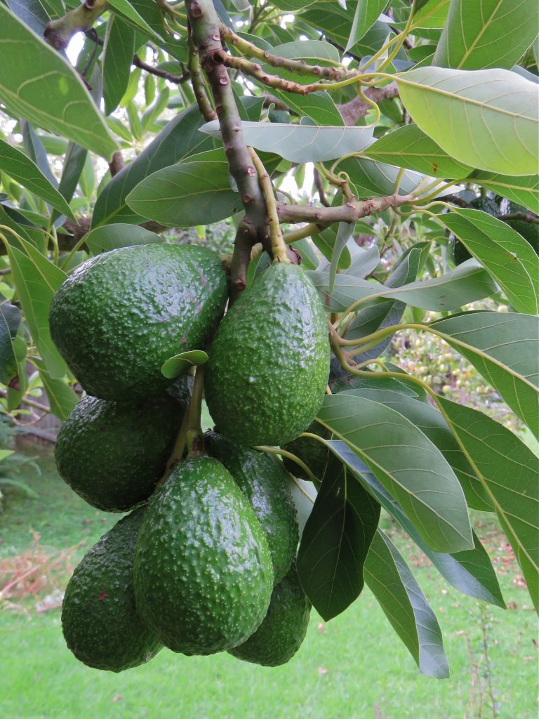 Avocado | AgriFutures Australia