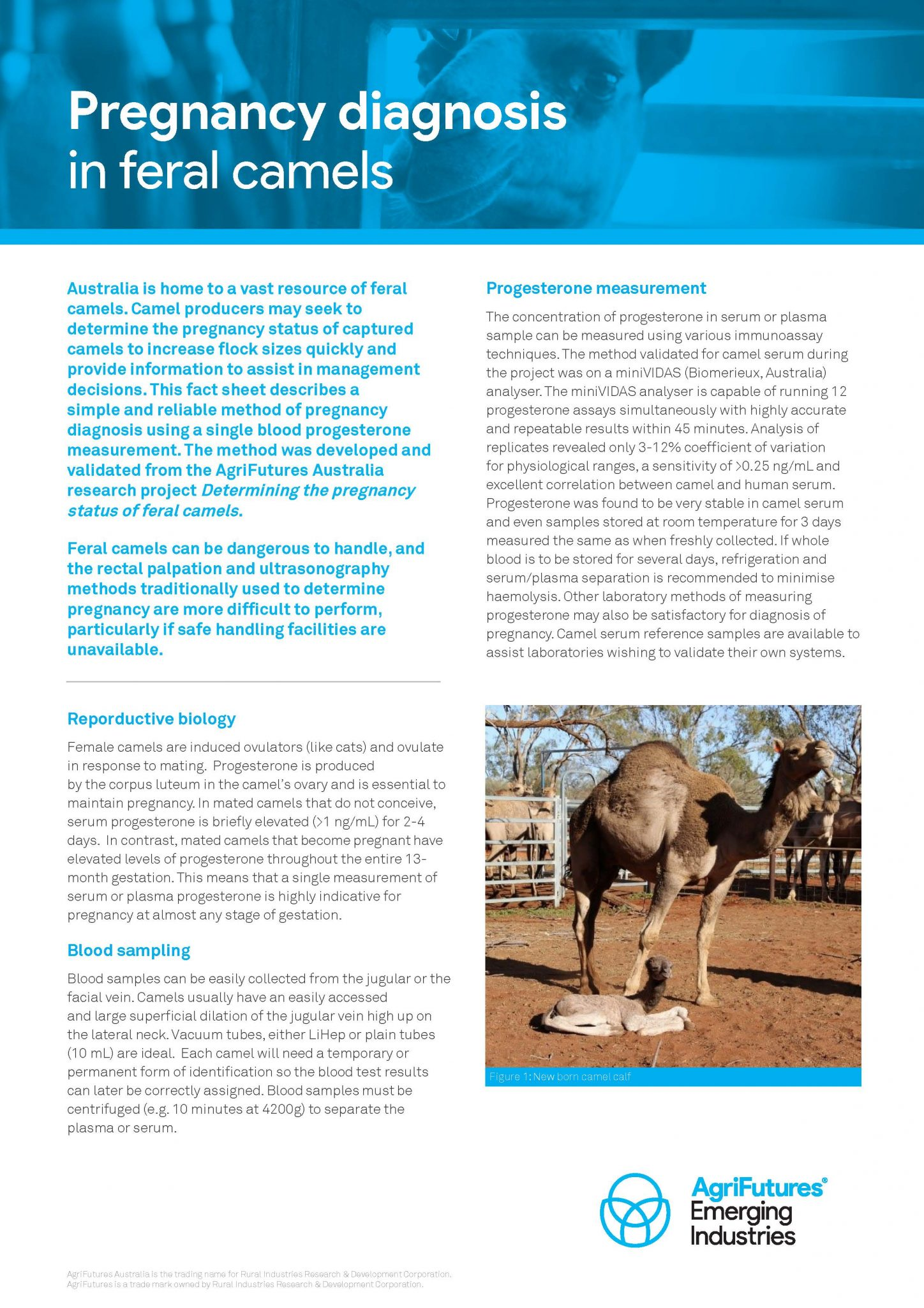 Fact sheet: Determining the pregnancy status of feral camels - image